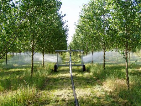 Recycled water grows poplar trees Eugene Oregonz